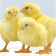 بررسی اثر پروبیوتیک بر عملکرد و فراسنجه های ایمنی جوجههای گوشتی